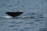 Sperm whale fluke for ID (taken by Craig Turner)