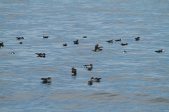 Cory's shearwaters (taken by Craig Turner)
