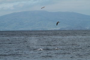 Sperm whale with Cory's shearwaters (taken by Craig Turner)