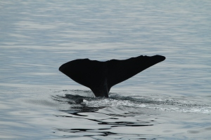 A better sperm whale fluke ID image, but not perfect