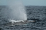 Fin whale blow