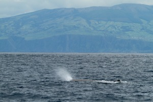 Sperm whale off the north coast of Faial