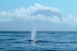 Fin whale in front of Pico