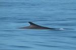 Fin whale fin