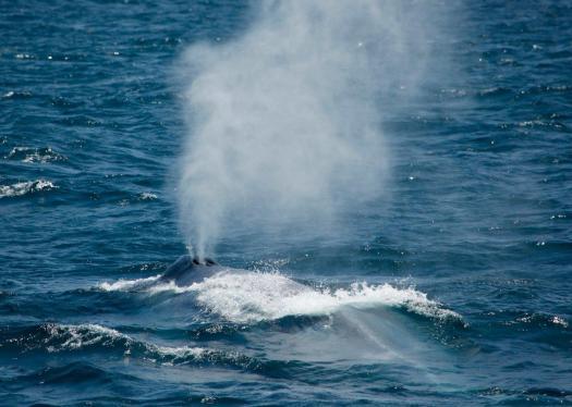 Close encounter of a blue (whale) kind (Craig Turner)