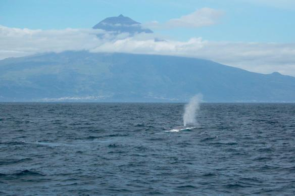 Blue whale south of Pico (Craig Turner)