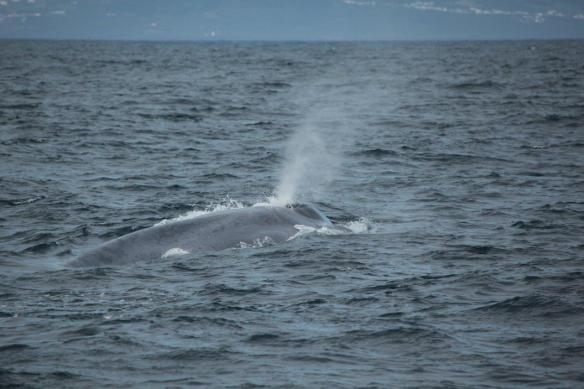 The characteristic mottling and colouration of the blue whale (Craig Turner)