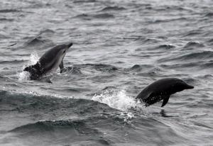 Striped dolphins (Lisa Steiner)