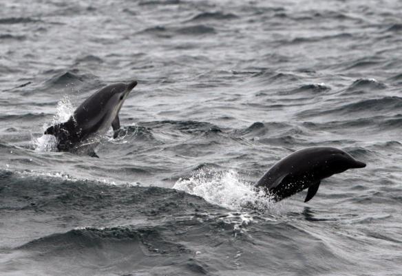 Striped dolphins (Lisa Steiner)