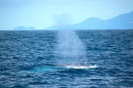 Blue whale south of Faial