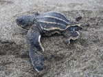Hatchling with deformed carapace