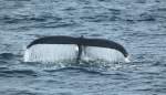 Humpback showing the fluke