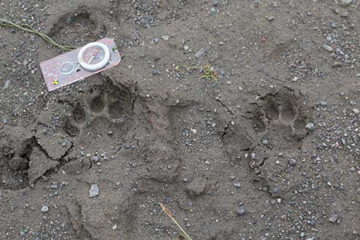 Fresh snow leopard footprints