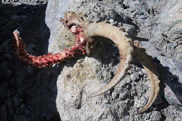 Ibex killed by a snow leopard