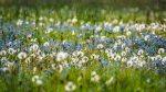 Blumenwiese im Basislager auf 3000m Höhe