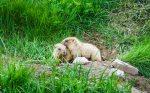 Murmeltiere stehen auch auf dem Speiseplan des Schneeleoparden