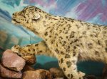 Ausgestopfte Schneeleopardin in einem Schulmuseum in Kochkor