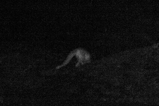 Rather poor quality, but the very first snow leopard captured on our camera traps