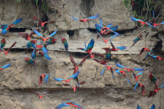 Macaws flying off the colpa