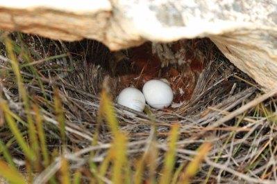 Cape rockjumper nest