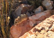 Namaqua rock mouse
